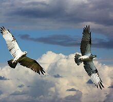 Osprey Family Flight by byronbackyard