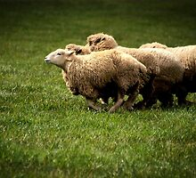Running Sheep by Tamara  Kenneally
