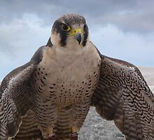Beauty and Freedom of the Perigrine Falcon by Sandra Caven