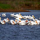 American White Pelican 2 by flyfish70