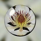 Clematis Henryi in a Bubble by lezvee