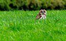 Tawny owl in grass by David Carton