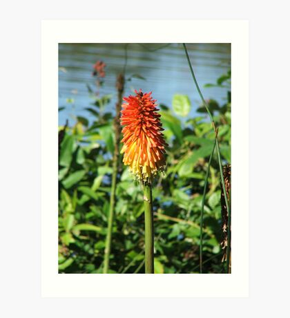 Red Hot Poker (5719) Art Print