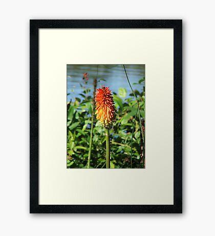 Red Hot Poker (5719) Framed Print