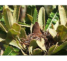 Banksia (5757) Photographic Print