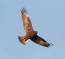 Hunting Harrier by byronbackyard
