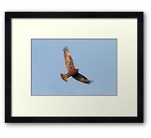 Hunting Harrier Framed Print