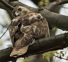 Curious Red Tail Hawk in the Spring Forest by Georgia Mizuleva