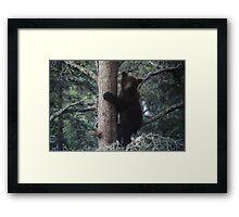 Alaskan Brown Bear Cub in Tree Framed Print