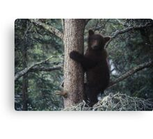 Alaskan Brown Bear Cub in Tree Canvas Print