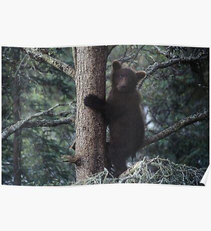 Alaskan Brown Bear Cub in Tree Poster