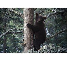 Alaskan Brown Bear Cub in Tree Photographic Print