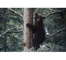 Alaskan Brown Bear Cub in Tree Photographic Print