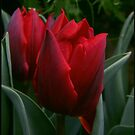 Red Tulips by jennybarnes
