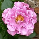 Rose After The Rain by jennybarnes
