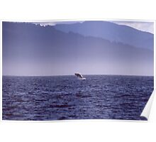 Killer Whale Breaching in Alaskan Waters Poster