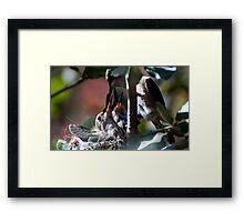 Update Hummingbird Babes  Framed Print
