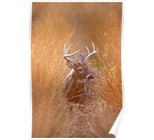 White-Tailed Buck Feeding at Sunset Poster