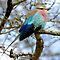 Lilac Breasted Roller On A Chilly Morning by Michael  Moss