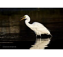 Ardea Alba - Great White Egret Eating Fish In Porpoise Channel | Stony Brook, New York Photographic Print