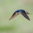 Tree Swallow On Green / In Flight by Gary Fairhead