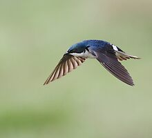 Tree Swallow On Green / In Flight by Gary Fairhead
