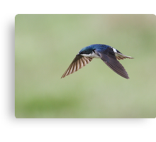 Tree Swallow On Green / In Flight Canvas Print