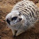 Mr. Meerkat by Mike Topley