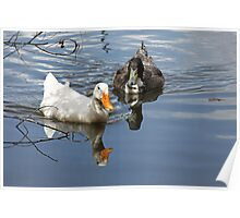 Duck Reflections Poster
