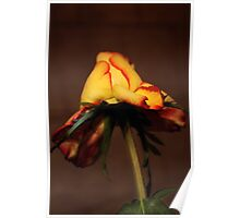 Roze in brown Poster