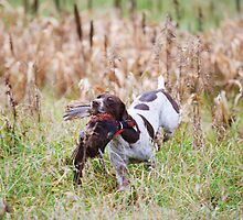 GERMAN SHORT-HAIRED POINTER RETRIEVING PHEASANT  by Wayne Hughes