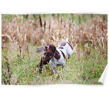 GERMAN SHORT-HAIRED POINTER RETRIEVING PHEASANT  Poster