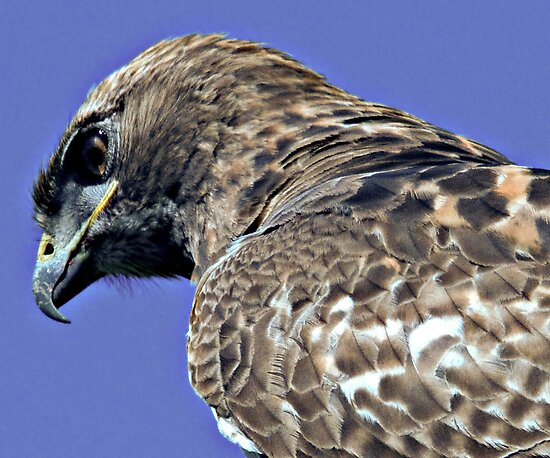Red Tailed Hawk Close Up by Michael  Moss