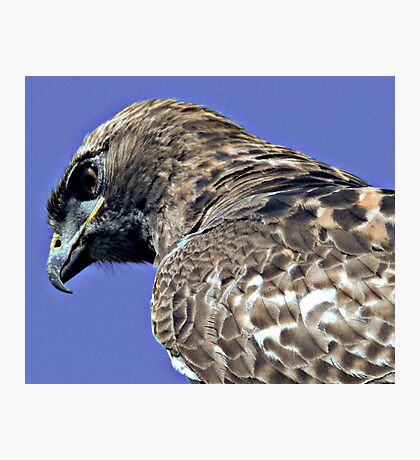Red Tailed Hawk Close Up Photographic Print