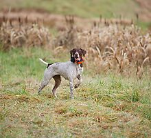 GERMAN SHORT-HAIRED POINTER ON POINT  by Wayne Hughes