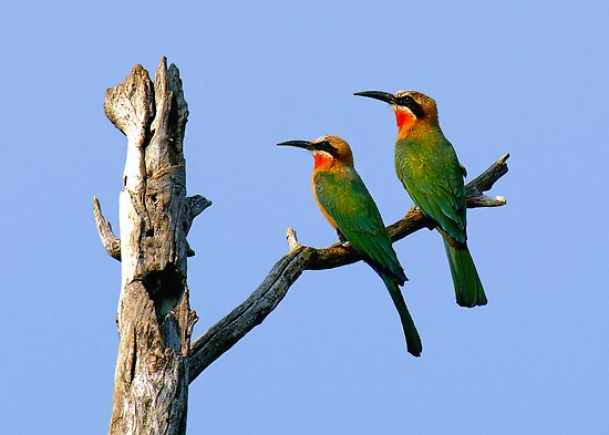WHITE FRONTED BEE EATERS - BOTSWANA by Michael Sheridan