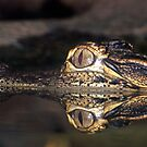 Baby Alligator up close with Reflection by TJ Baccari Photography