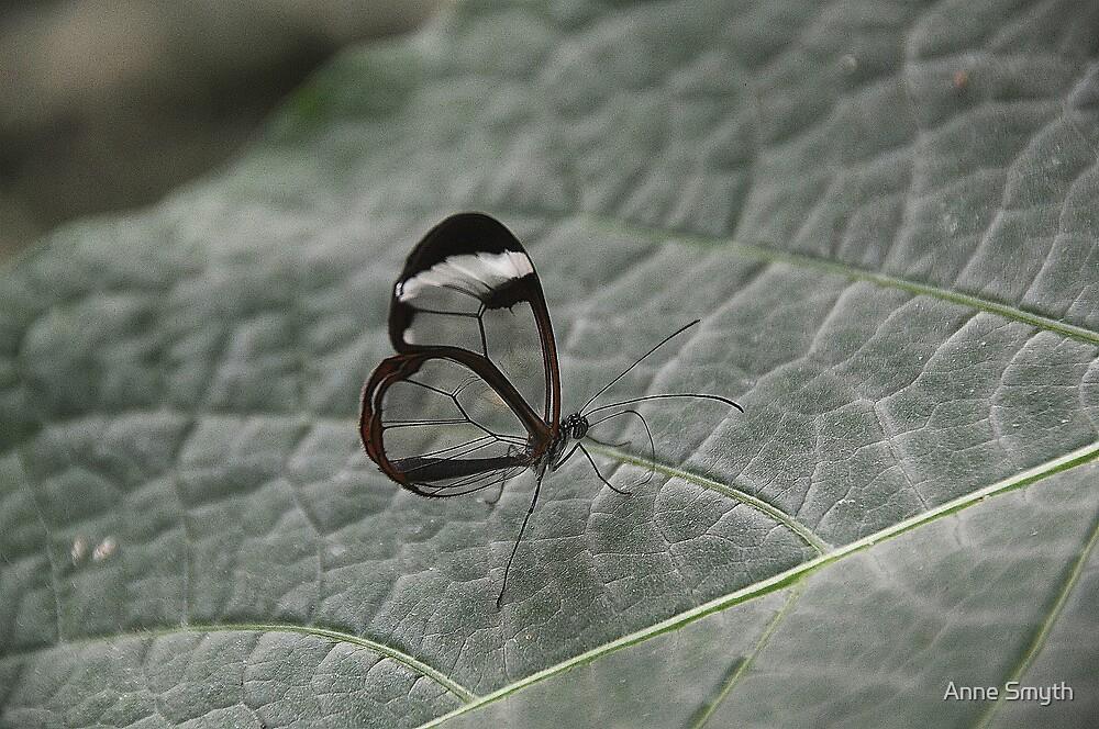 Glasswing by Anne Smyth