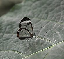 Glasswing by Anne Smyth
