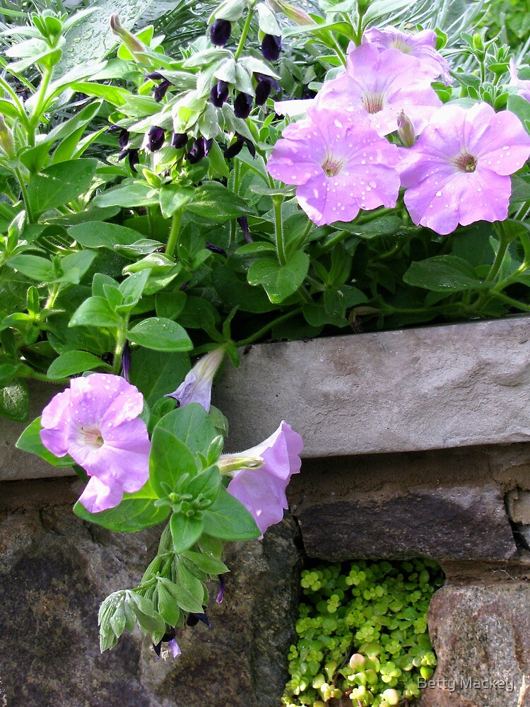 Soft Petunias and a Stone Wall by Betty Mackey