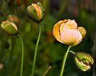 Almost in bloom by LudaNayvelt