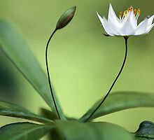 Starflower With New Bud by T.J. Martin