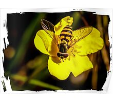 Hover fly on yellow flower Poster