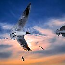 Black-Headed Gulls at Sunset by Henry Jager