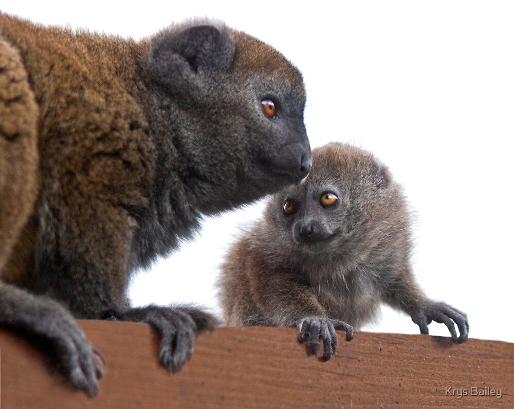 Me and Mum (Alaotran Gentle Lemur) by Krys Bailey