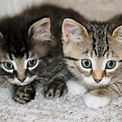 Two Orphan Kittens by Teresa Zieba