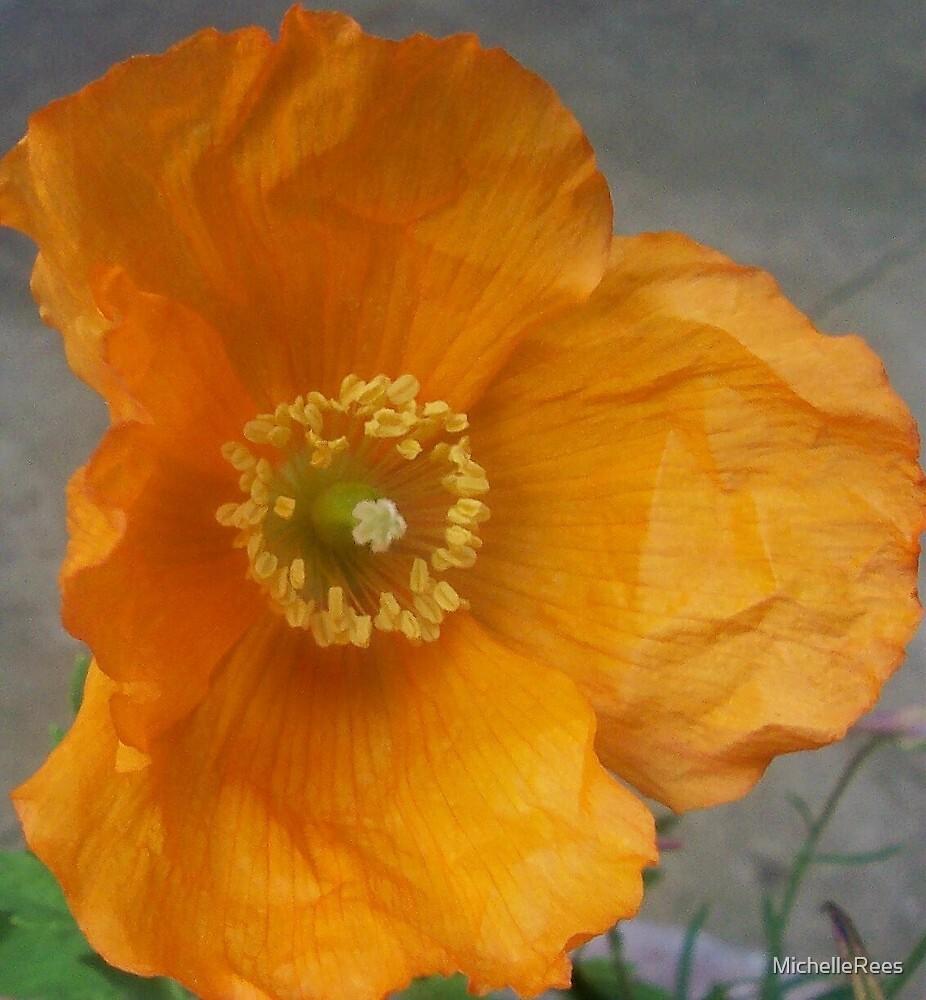 orange californian poppy flower by MichelleRees