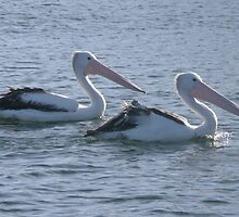 Pelicans That Swim Together, Stay Together. by Mywildscapepics