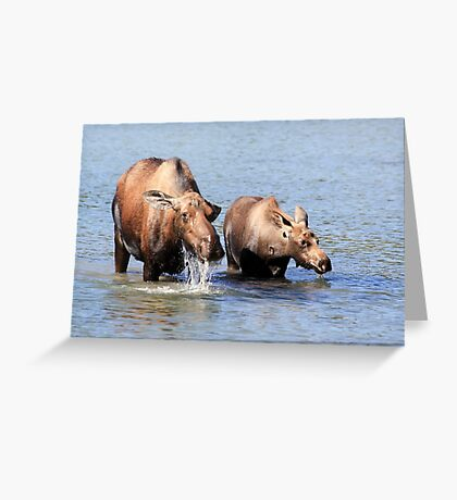 Cow Moose and her Calf Greeting Card