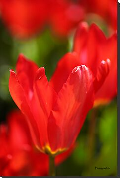 Red Tulips by Yannik Hay